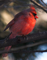 Northern Cardinal-Male - 02.26.14 by BirdyLee