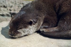 Asian Small-Clawed Otter. by robbobert
