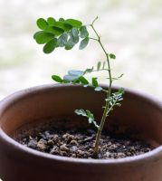 Texas Ebony pre-bonsai angle 2 by lamorth-the-seeker