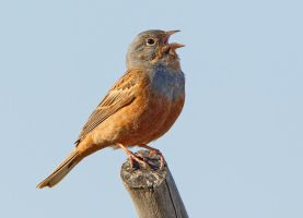 My turn to tweet - Creztchmar's Bunting by Jamie-MacArthur