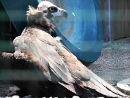 Cinereous Vulture by Chaosthief