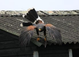 Harris Hawk Stock 16 by LRG-Photography
