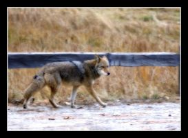 Coyot' on the run by yooperjb