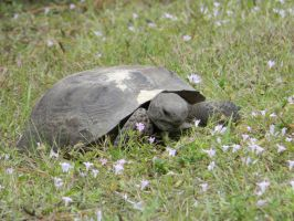 Gopher Tortoise by SamRickim