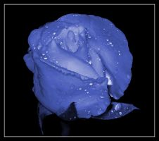 Happy Blue Rose Day by teea