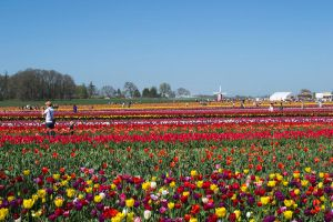 Field of Tulips by ThatBlueGuy