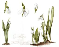 Snowdrops by WildWoodArtsCo