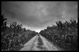 Field of corn bw by mjagiellicz