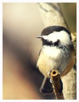 Black Capped Chickadee 2 by Kaosah