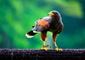 Harris Hawk by deseonocturno