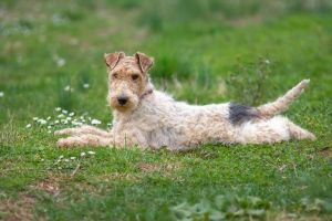 Fox terrier by shljivo