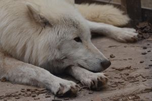 Arctic Wolf 11 by Lakela
