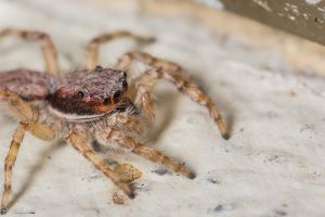More jumping spiders by LordMajestros
