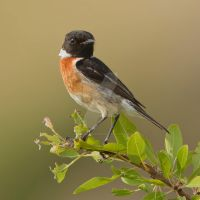 Stonechat - male by Jamie-MacArthur
