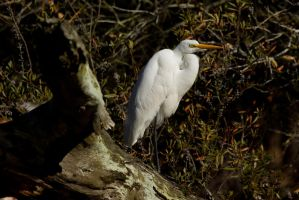 Egret Perched 4 by bovey-photo