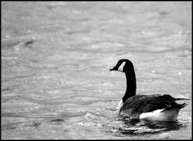 Canada Goose B_W by SuicideBySafetyPin