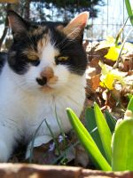 Calico in the Flowers05 by effing-stock