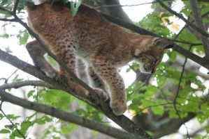 Lynx Cub in Tree 1 by JRL5