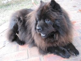 Sachmo the Chow by JoaquinsFire