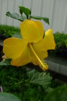 Yellow Hibiscus 2 by EruwaedhielElleth