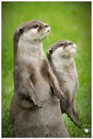 Otter - two - by Pixie-Arts