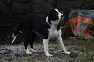 Collie Dogs 29 by Tasastock