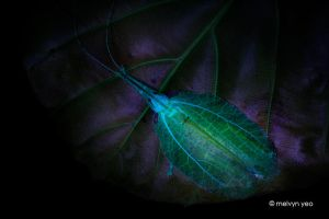 UV Chondroderella borneensis by melvynyeo