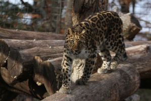 Amur Leopard Stock 23 by HOTNStock