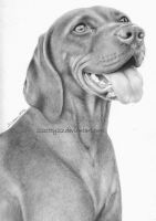 Hungarian vizsla by 22Zitty22