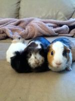 My Guinea Pigs by FusionBolt9630