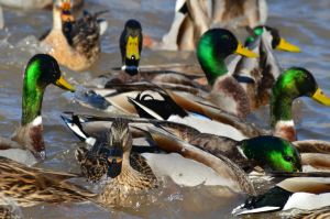 Duck Commotion by pink-coffee-cup