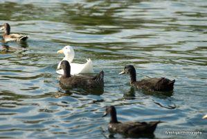 Ducks by rare2bme
