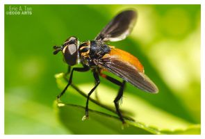 Feather Legged Fly by Eccoton