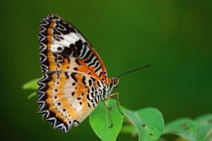Leopard Lacewing 210509 by inckurei