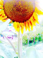 sunflower by MAGDALENAPOD
