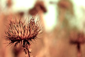 Thistle by 86Botond