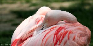 flamingo sleepy by Kristinaphoto