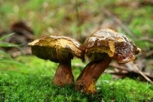 boletus 1 by gd08