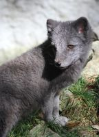 Arctic Fox IX by Parides
