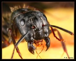 Black Ant with Jaws Wide Open by mplonsky