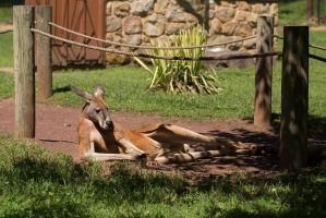 The Most Interesting Kangaroo In The World by BlackRoomPhoto