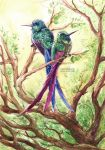 Violet-tailed Sylph by Carcaneloce