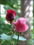 pink and red rose (2) by hugitsa