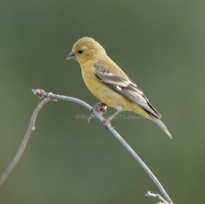 Goldfinch on another stick... by kayaksailor