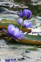 Water lily No. 3 by Amaries-stock
