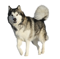 Precut Alaskan Malamute by Vesperity-Stock