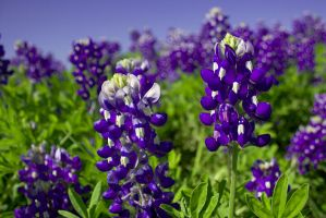 Texas Bluebonnets by lucifie
