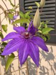 Gmas Flowers Clematis by lamorth-the-seeker