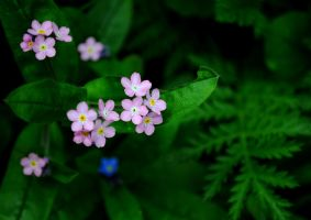 Pink Forget Me Not by Forestina-Fotos