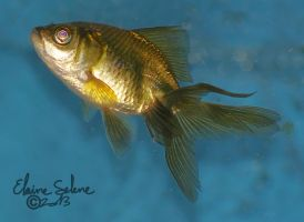 Stay Gold - The GOLD Goldfish - 4 by ElaineSeleneStock